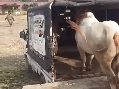 A cow kills man after Kicked.