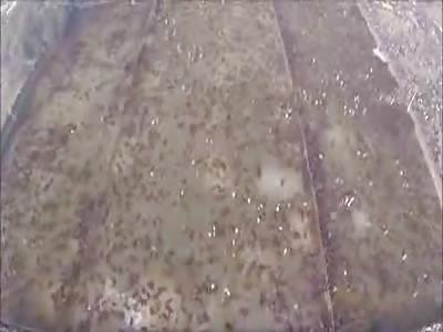 gory ritual massacre of thousands animals