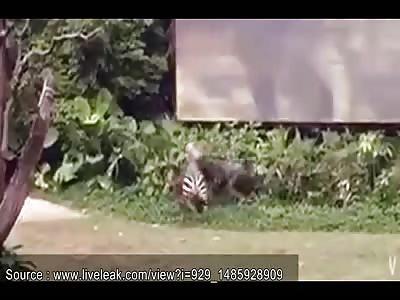 Zebra Attacks Zookeeper In China