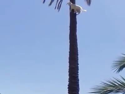 Goat Climbs Up A Palm Tree