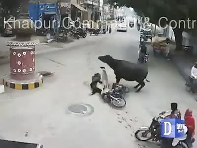 Cow attacks man