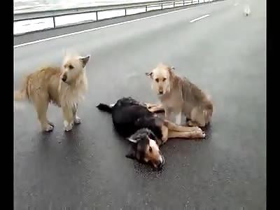 Loyal dogs won't leave his dead friend