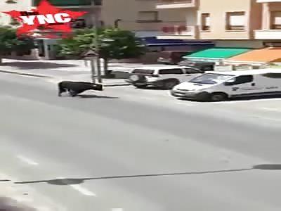 very angry bull