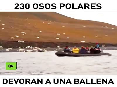 230 polar bears devouring a whale