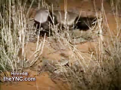 Honey Badger eats a King Cobra, Honey Badger Dies