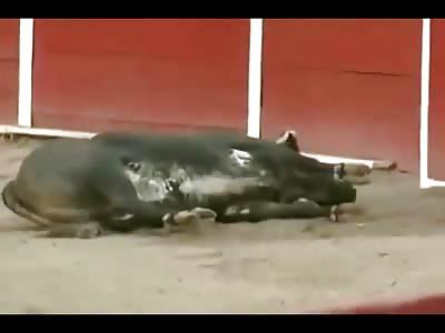 Bull Kills himself during Show...