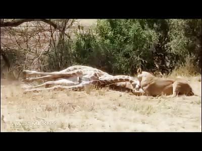 Lion leaps to take down Giant Giraffe then Strangle it to Death Slowly