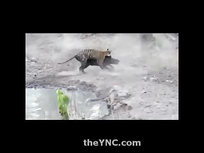 Baby Tiger vs. Full Grown Wild Boar....