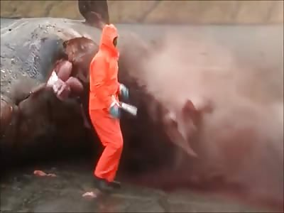 Sperm Whale Explodes in Faroe Islands