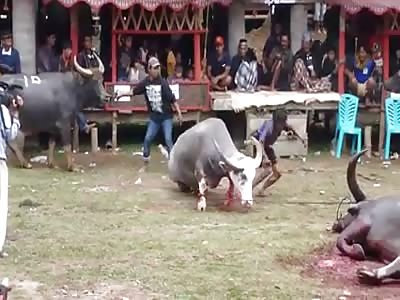 SHOCKING: BUFFALO KILLERS SACRIFICIAL TRADITION IN INDONESIA