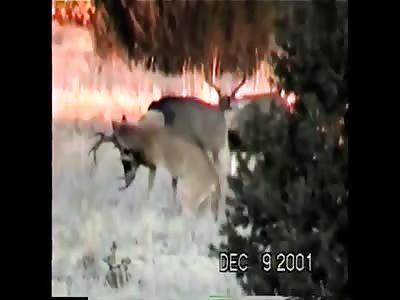 Mountain lion killing deer